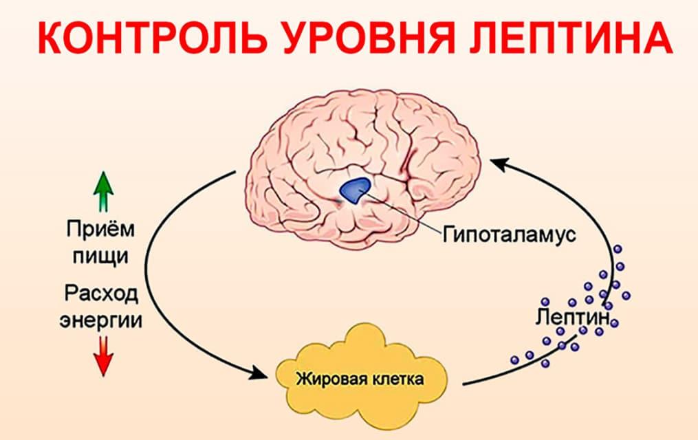 гормон лептин